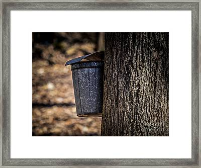 Maple Syrup Time Collecting Sap Framed Print