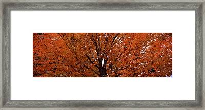 Maple Tree In Autumn, Vermont, Usa Framed Print by Panoramic Images