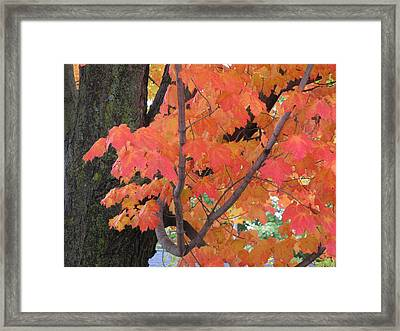Maple Tree  Framed Print by Lyle Crump