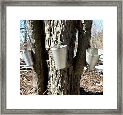 Maple Tree Sap Pails  Framed Print
