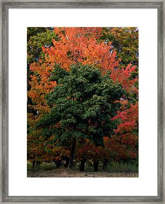 Maple Tree Variations Framed Print by Michel Mata