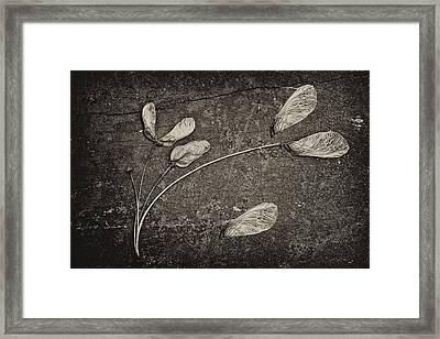 Maple Tree Whirlybirds Framed Print