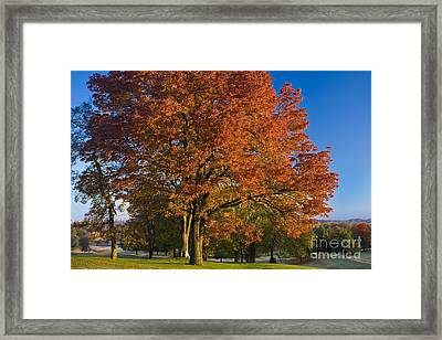 Maple Trees Framed Print by Brian Jannsen