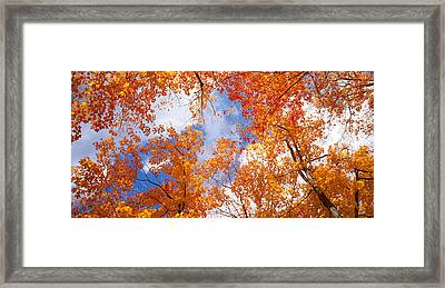 Maple Trees In Autumn, Vermont, Usa Framed Print by Panoramic Images