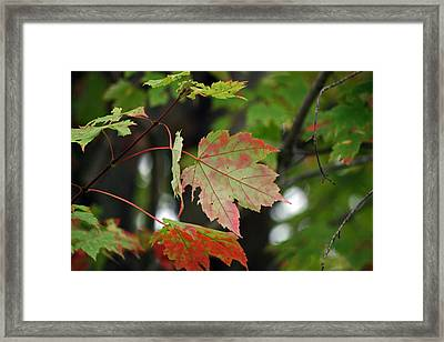 Maple Turning Framed Print