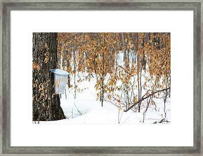 Maple Woods Framed Print by Cheryl Baxter