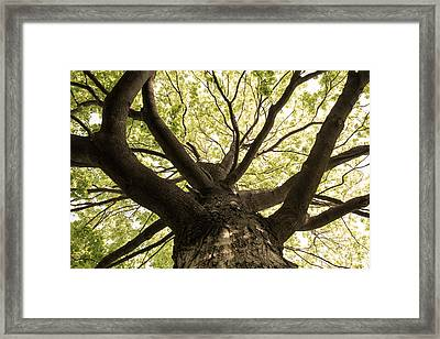Framed Print featuring the photograph Maple's Spring Glory by Scott Rackers
