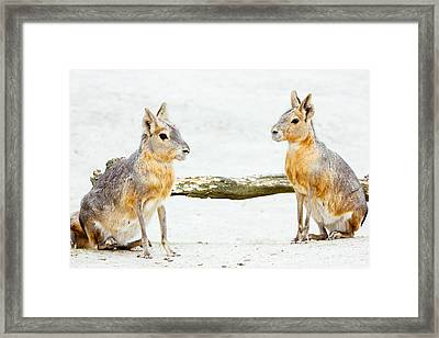 Mara Rodent Animals Framed Print by Pati Photography