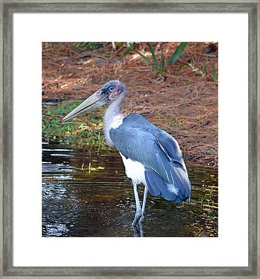 Marabou 2 Framed Print by Richard Bryce and Family