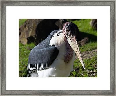 Marabou Stork 7d8885 Framed Print
