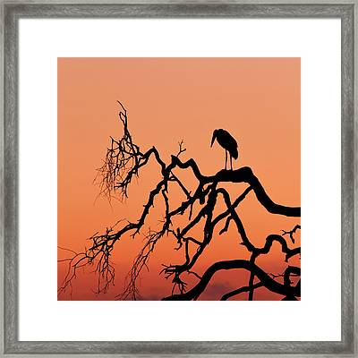 Marabou Stork At Sunrise Framed Print