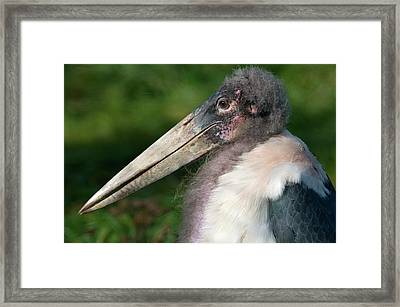 Marabou Stork Framed Print by Nigel Downer