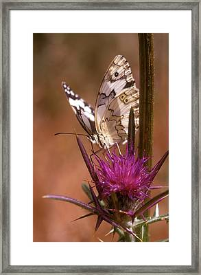 Marble White Melanargia Titea Titania Framed Print