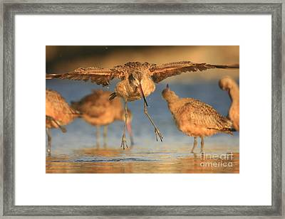 Marbled Godwit  Framed Print