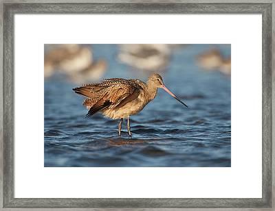 Marbled Godwit (limosa Fedoa Framed Print