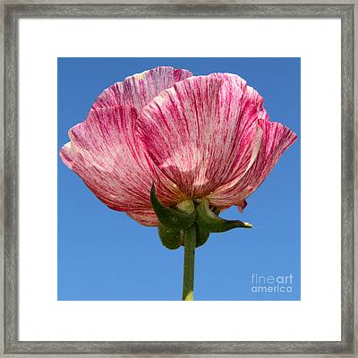 Marbled Mable Ranunculus Flower By Diana Sainz Framed Print