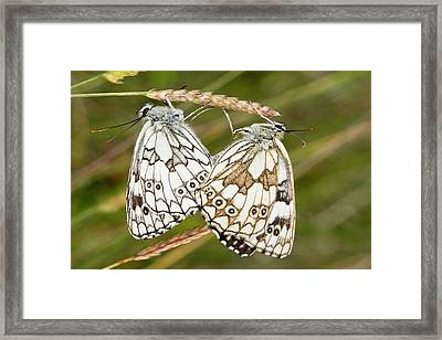 Marbled White Butterflies Mating Framed Print by Bob Gibbons