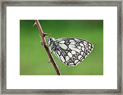 Marbled White Butterfly Framed Print by Alex Hyde