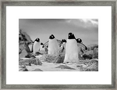 March Of Gentoo Penguins Pygoscelis Papua At Neko Harbour Continent Of Antarctica Framed Print