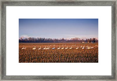 March Of The Swans Framed Print