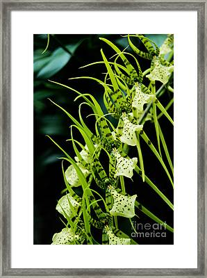 Framed Print featuring the photograph Marching Orchids by Eva Kaufman