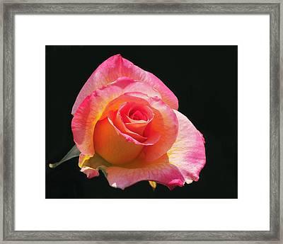 Mardi Gras Floribunda Rose Framed Print by Rona Black