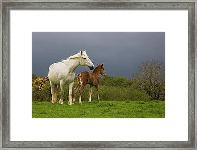 Mare And Foal, Co Derry, Ireland Framed Print by Panoramic Images