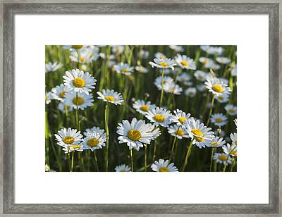 Marguerite _leucanthemum__ Black Framed Print by Carl Bruemmer