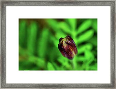 Marigold Bud Framed Print