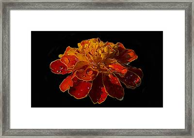 Marigold Tagetes Framed Print by Michael Moriarty