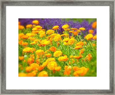 Marigolds And Lavender Framed Print