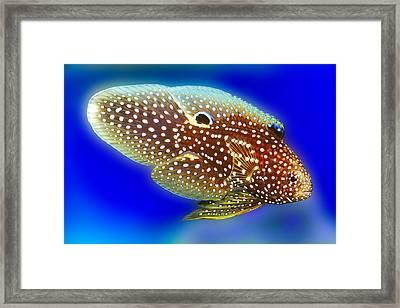 Marine Beta Fish Calloplesiops Altivelis Framed Print by Wernher Krutein