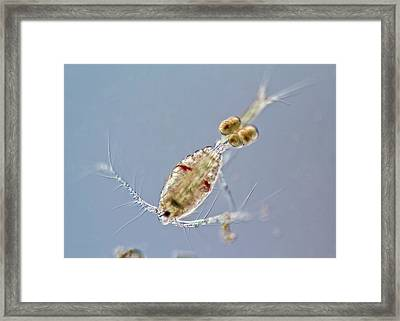 Marine Copepode With Eggs Framed Print
