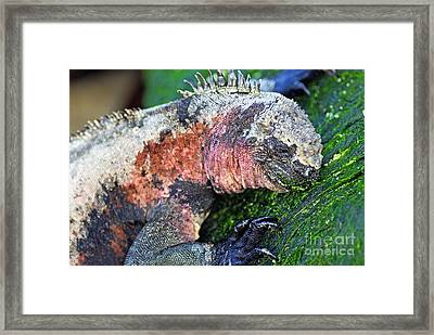 Marine Iguana Eating Green Seaweed Framed Print by Sami Sarkis