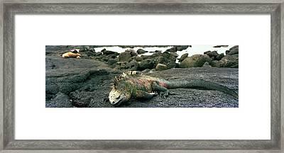 Marine Iguana Galapagos Islands Framed Print