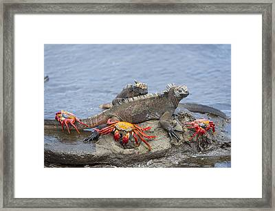 Marine Iguana Pair And Sally Lightfoot Framed Print by Tui De Roy