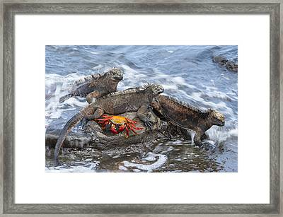 Marine Iguana Trio And Sally Lightfoot Framed Print by Tui De Roy