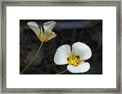 Mariposa Lilies Framed Print