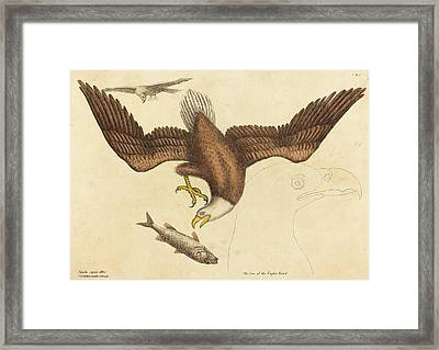 Mark Catesby English, 1679 - 1749, The Bald Eagle Falco Framed Print by Quint Lox