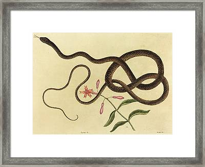 Mark Catesby English, 1679 - 1749, The Coach-whip Snake Framed Print