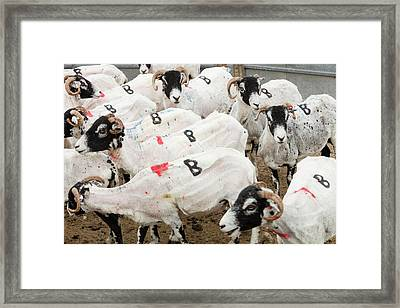 Marked Up Freshly Sheared Sheep Framed Print by Ashley Cooper