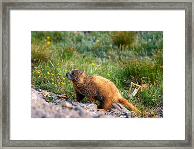 Marmot In Spring Framed Print by Rebecca Adams