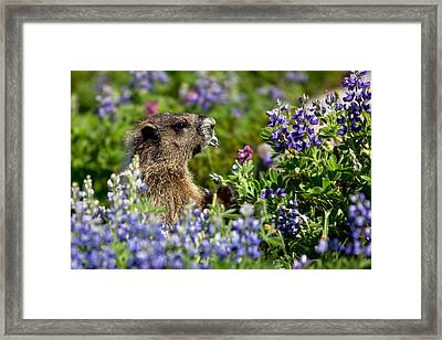 Framed Print featuring the photograph Marmot Mount Rainier National Park by Bob Noble Photography