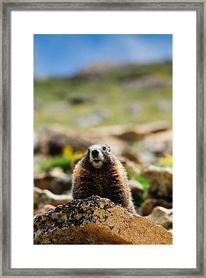 Marmot On A Rock Framed Print by Bonnie Fink