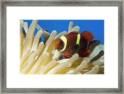 Maroon Clownfish Framed Print by Nigel Downer