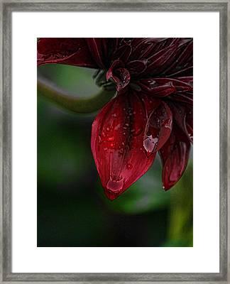 Maroon Dahlia Drips Framed Print
