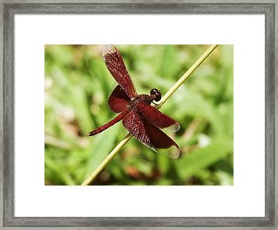 Maroon Dragonfly Framed Print