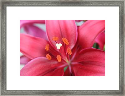 Maroon Lilies Framed Print by Cary Amos