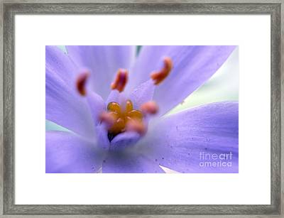 Maroon Tulip Framed Print by Sheldon Blackwell