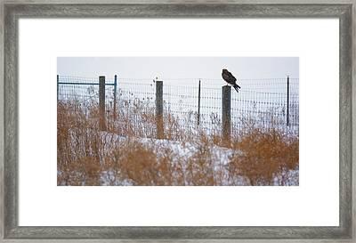 Marsh Hawk Framed Print by Tracy Winter